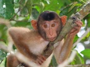 orangoetans borneo