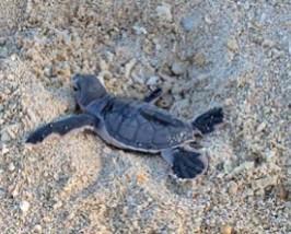 schildpadden borneo maleisie