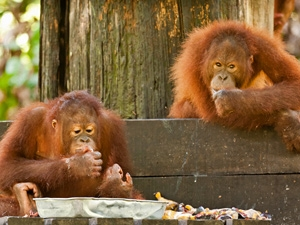 smullende orang oetans borneo maleisie
