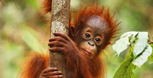 Maleisie reis - orang oetan