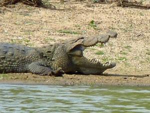 Tijdens je safari met kinderen Sri Lanka krokodillen spotten