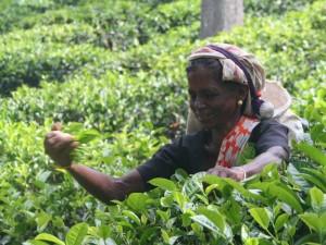 treinreis Sri Lanka met kinderen - thee plukken