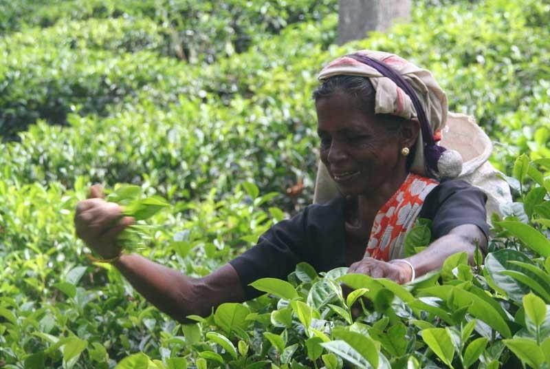 Sri Lanka vakantie - thee plukster