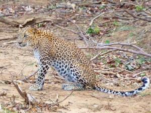 safari Sri Lanka met kinderen - luipaard in Yala