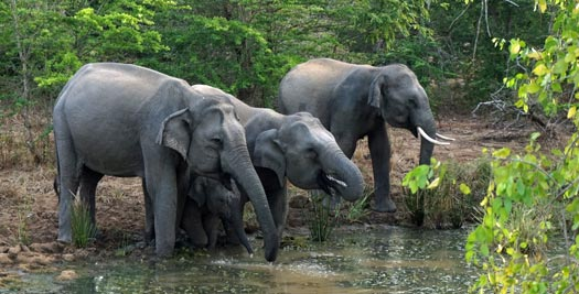 Olifanten tijdens je reis Sri Lanka