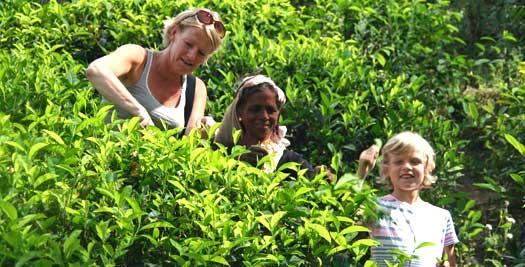 Sri Lanka rondreis - thee plukken