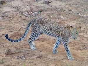 tijdens je 2 weken Sri Lanka een luipaard spotten in Yala