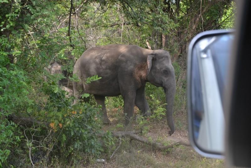 Vakantie Sri Lanka - olifant