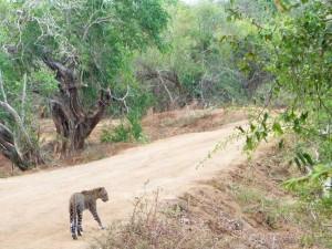 Sri Lanka met kinderen - luipaard