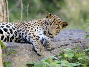 Riksja Family Sri Lanka: luipaarden in Yala NP