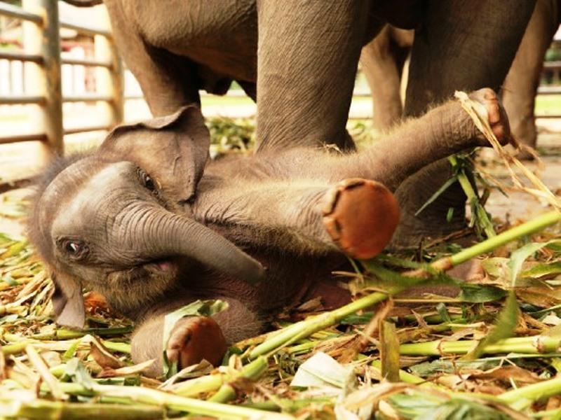 Elefanten in Thailand: Elefantenbaby im Elefanten Camp