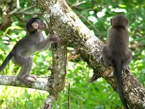 Zwei Makakenaffen auf dem Baum im Khao Sok