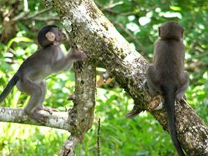 Zwei Makakenaffen auf dem Baum im Khao Sok Nationalpark