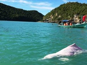 Pinker Delfin bei einem Bootsausflug in Khanom