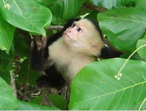 Ein Affe schaut zwischen Blättern durch