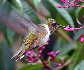 Ein Kolibri fliegt an eine Blume