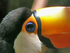 Grossaufnahme von einem Tukan
