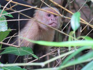 Affen in Manuel Antonio