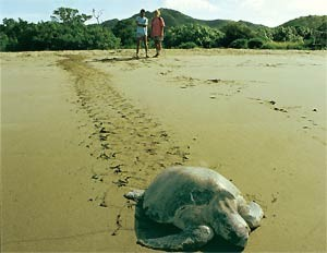 Eine Schildkröte läuft über den Strand in Tortuguero