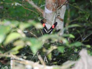 Bunter Schmetterling in Sarapiqui
