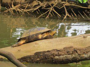 Schildkröten bei der Eiablage