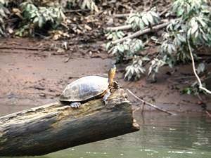 Eine Schildkröte im Tortuguero Nationalpark
