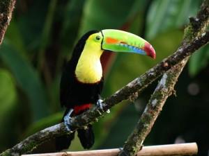 Ein Tukan in Costa Rica