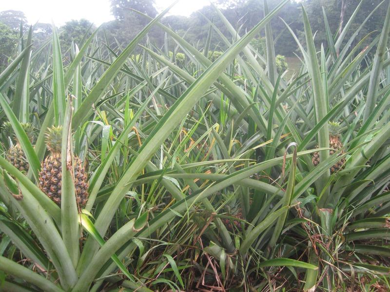 Ein Ananasfeld