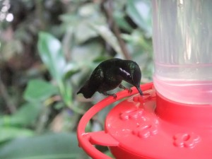 Ein kleiner Kolibri trinkt