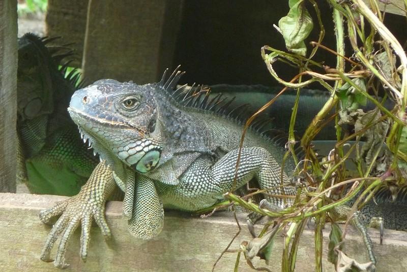 Ein Leguan in Costa Rica