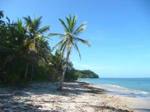Eine Palme an der Karibikküste Costa Ricas