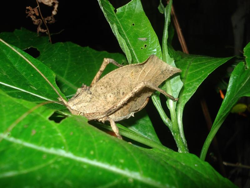 Ein Insekt bei der Nachtwanderung im Nebelwald Monteverde