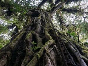 Familienreise Costa Rica: Ein großer Baum in Monteverde