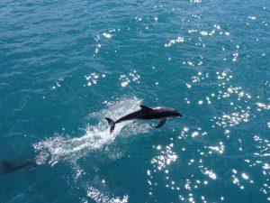 Ein Delfin springt im Wasser