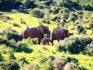 Kapstadt bis Port Elizabeth: Elefantenfamilie im Addo Elephant Park