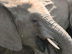 Nahaufnahme eines Elefanten im Addo Elephant Park