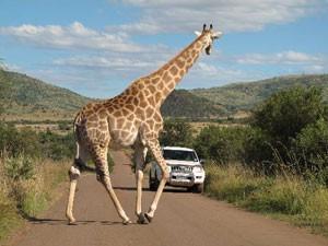 Südafrika malariafrei: Giraffe in Pilanesberg