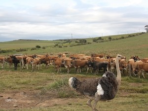 Südafrika Garden Route: Kühe auf einer Weide bei Heidelberg mit einem Strauß vor der Herde