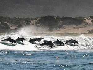 Delfine in der Brandung bei der Walbeobachtungstour in Hermanus.
