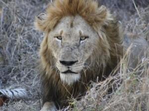 Löwe liegt in Steppengras