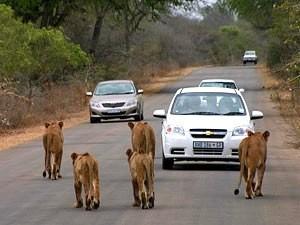 Südafrika Rundreise: Löwen auf der Straße in einem Park
