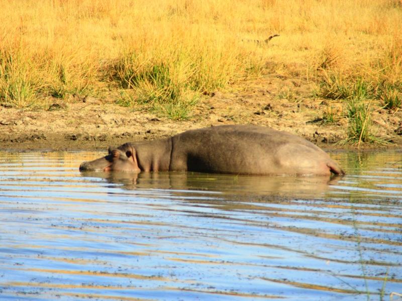 Nilpferd im Pilanesberg Nationalpark