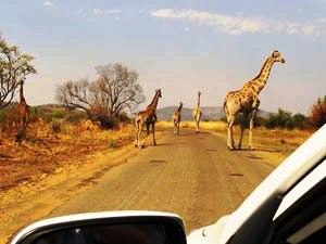 Giraffen-Gruppe bei der Selbstfahrersafari im Pilanesberg