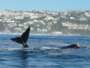 Wal vor der Küste von Plettenberg Bay