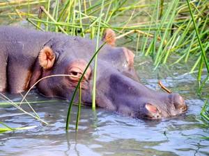 St. Lucia: Safari zu den Nilpferden