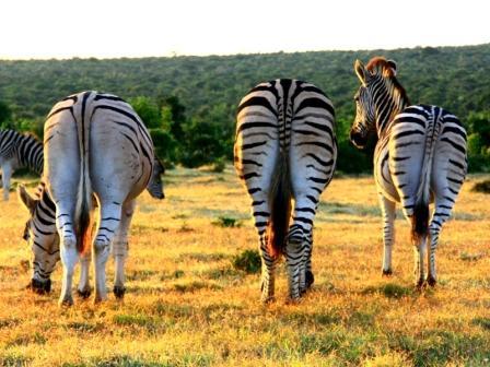 Drei Zebra Hinterteile
