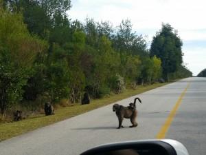 3 Wochen Südafrika: Paviane auf der Landstraße