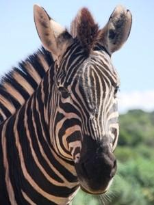 3 Wochen Südafrika: Nahaufnahme vom Zebra