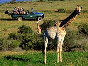 Südafrika mit Kleinkind Giraffe mit dem Safari-Wagen im Hintergrund