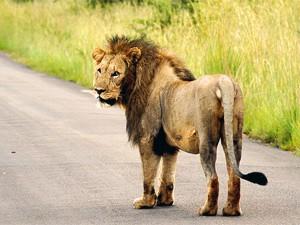 Südafrika Familienreise: Löwe